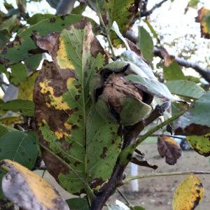 La Vie Contée - noix et huiles - noix sur arbre